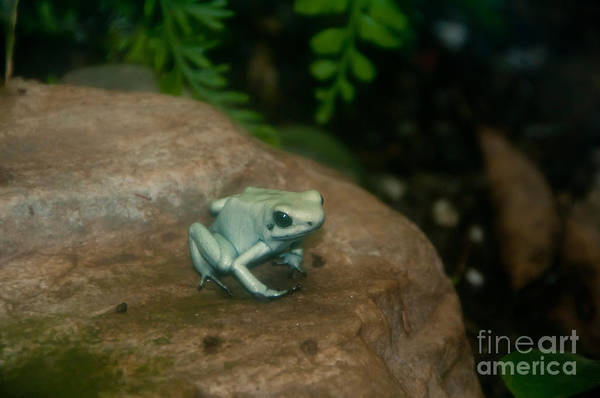 Nature Art Print featuring the photograph Golden Poison Frog Mint Green Morph by Mark Newman