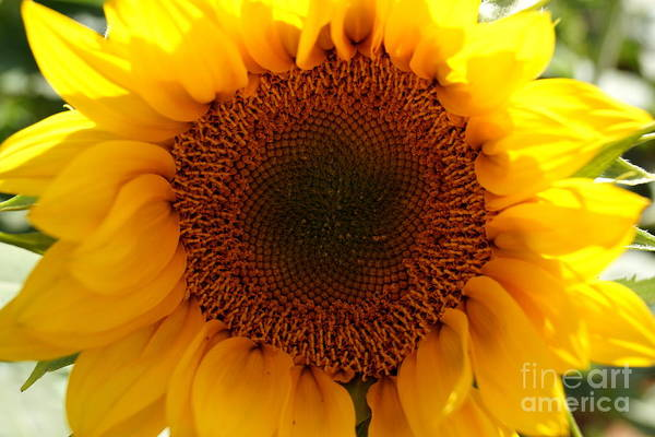 Agriculture Art Print featuring the photograph Golden Ratio Sunflower by Kerri Mortenson