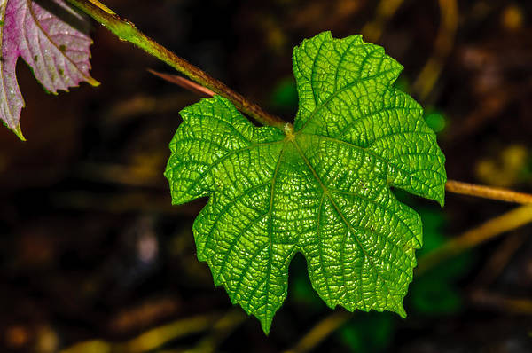 Grape Leaves Art Print featuring the photograph Grapes Of Rath by Louis Dallara