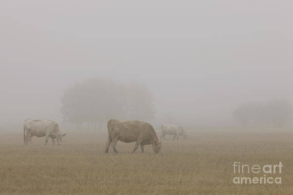Cattle Art Print featuring the photograph Grazing by Dan Jurak