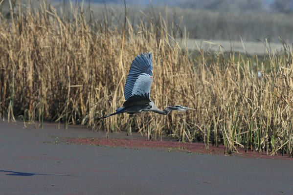 Wildlife Art Print featuring the photograph Great Blue Heron In Flight by Lee Eastman