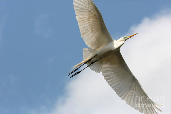 Flying Bird Print featuring the photograph Great Egret Overhead by Carol Groenen