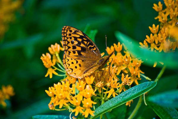 Butterflies Art Print featuring the photograph Great Spangled Fritillarie Ins 77 by G L Sarti