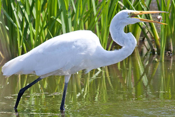 Wisconsin Art Print featuring the photograph Great White Egret In Horicon Marsh by Natural Focal Point Photography