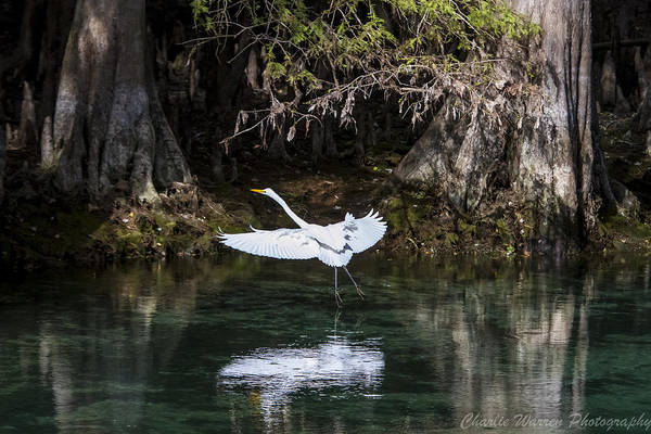 Heron Art Print featuring the photograph Great White Heron In Flight by Charles Warren