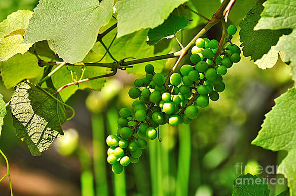 Green Berries Art Print featuring the photograph Green Berries by Kaye Menner