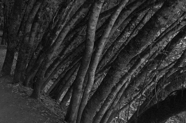Trees Art Print featuring the photograph Grove Of Trees In Muir Woods by Scott Lenhart