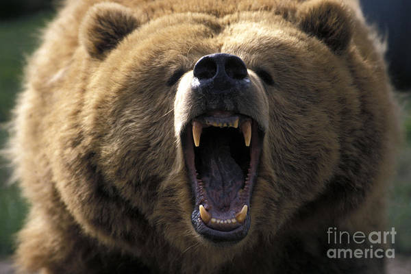 Grizzly Bear Art Print featuring the photograph Growling Grizzly Bear by Mark Newman