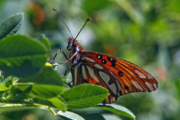 Gulf Fritillary Butterfly Art Print featuring the photograph Gulf Fritillary Butterfly Close Up by Her Arts Desire
