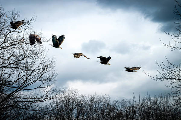 Eagle Art Print featuring the photograph Half Second Of Flight by Bob Orsillo
