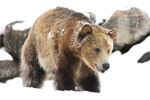Wildlife Art Print featuring the photograph Happy Grizzly Bear by Brenda Boyer