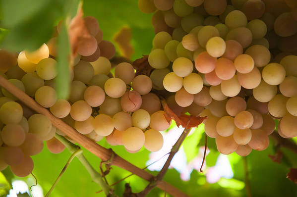 Grape Art Print featuring the photograph Harvest Time. Sunny Grapes II by Jenny Rainbow