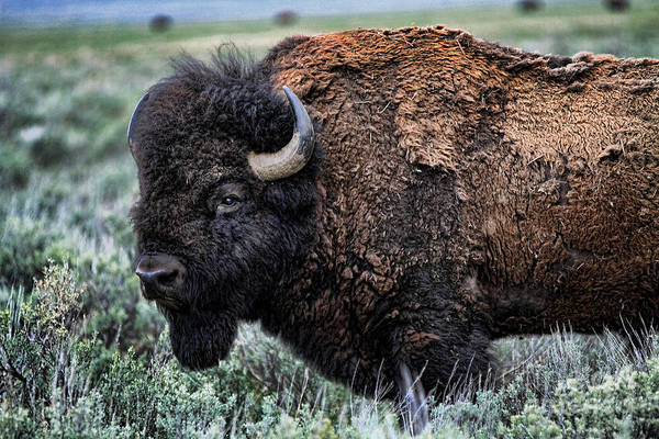 Bison Art Print featuring the photograph Heavyweight by Edward R Wisell