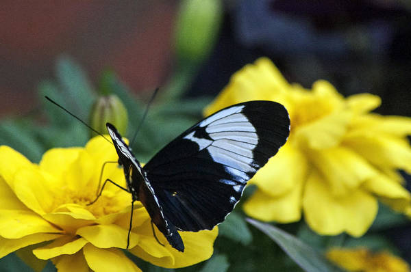 Butterfly Art Print featuring the photograph Heliconius by Ginger Harris