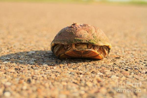 Turtle Art Print featuring the photograph Hello Anyone Home by Ashley M Conger