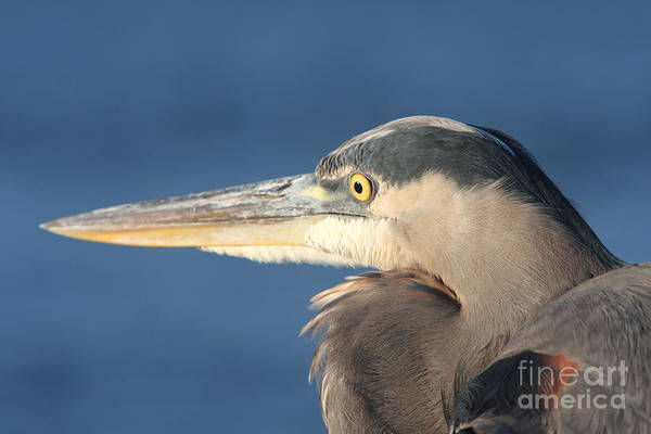 Heron Art Print featuring the photograph Heron Close-up by Christiane Schulze Art And Photography