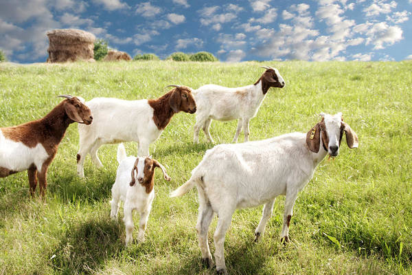 Goat Art Print featuring the photograph Homeward Bound by Amy Tyler
