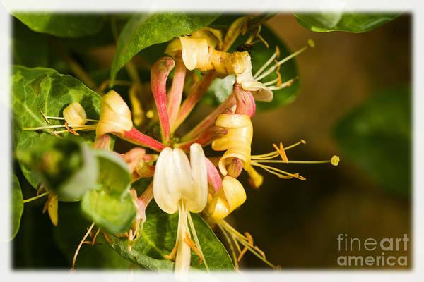 Flower Art Print featuring the photograph Honeysuckle by Liz Alderdice