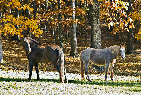 Animal Art Print featuring the photograph Horses In Autumn Pasture  by Susan Leggett