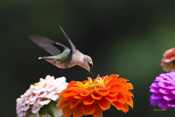 Hummingbird Art Print featuring the photograph Hummingbird In Flight With Orange Zinnia Flower by Christina Rollo