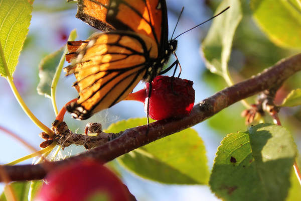 Butterfly Art Print featuring the photograph Butterfly And The Cherry by Sabrina McKenzie