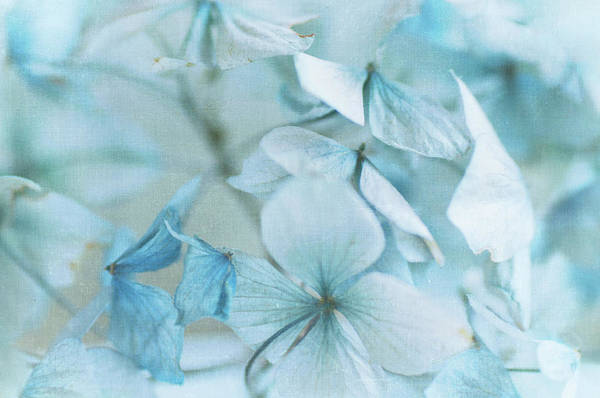 Petal Art Print featuring the photograph Hydrangea Flowers by Jill Ferry