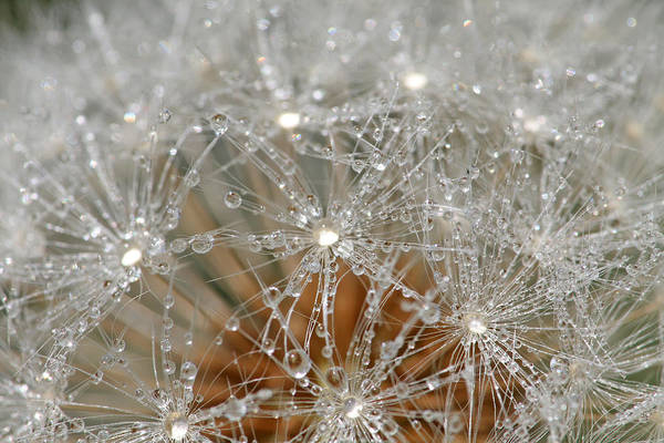 Dandelion Art Print featuring the photograph I Might've Gone To Seed But I Still Know How To Party by Peggy Collins