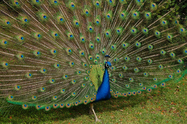 Peacock Art Print featuring the photograph Its All About Him by Suzanne Gaff