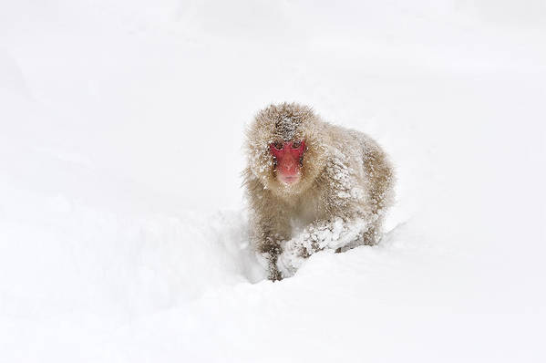 Thomas Marent Art Print featuring the photograph Japanese Macaque In Snow Jigokudani by Thomas Marent