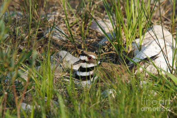 Killdeer Print featuring the photograph Killdeer by Linda Freshwaters Arndt