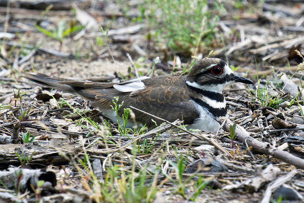 Killdeer Art Print featuring the photograph Killdeer by Timothy Blair