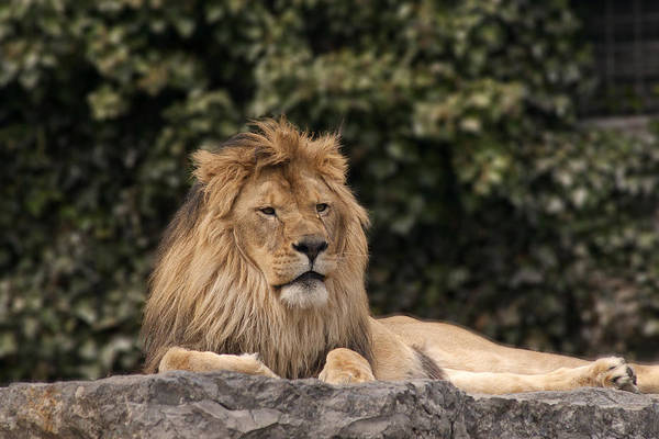 King Art Print featuring the photograph King Of The Jungle by Cindy Haggerty