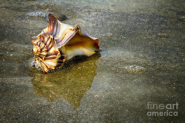 Shells Art Print featuring the photograph Knobbed Whelk 11 Botany Bay by Carrie Cranwill