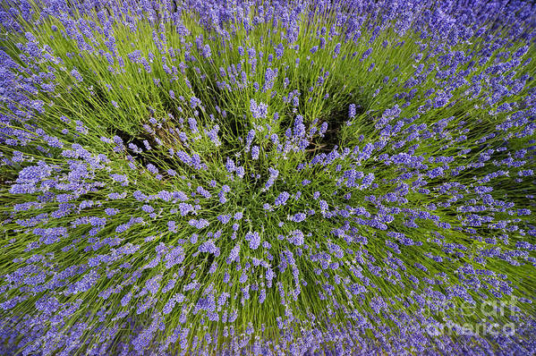 Lavender Art Print featuring the photograph Lavender Explosion by Tim Gainey