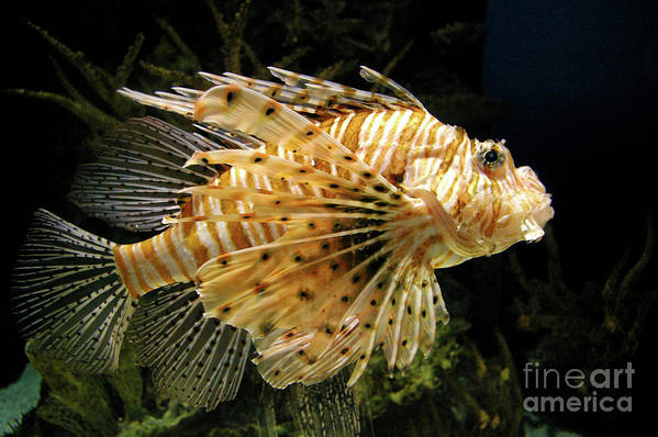 Lionfish Art Print featuring the photograph Lionfish Searching For Its Prey by Mariola Bitner