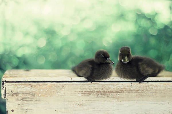 Duck Photography Art Print featuring the photograph Little Buddies by Amy Tyler
