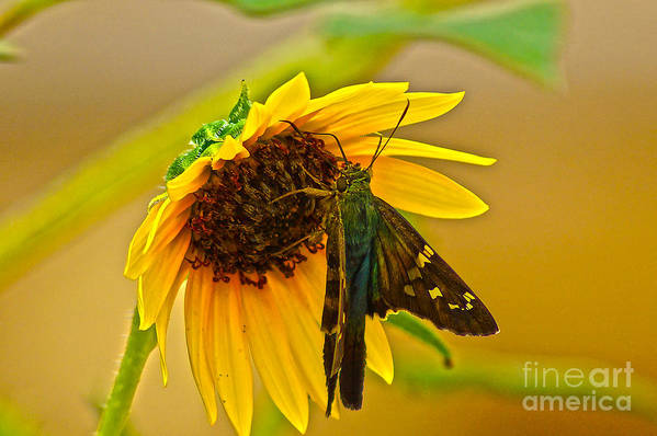 Long-tailed Skipper Art Print featuring the photograph Long-tailed Skipper by Kim Pate