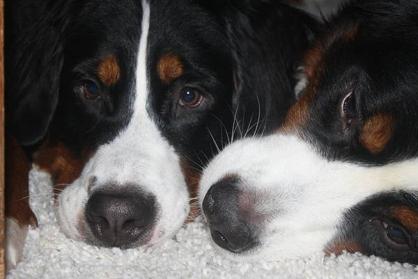 Bernese Mountain Dogs Art Print featuring the photograph Love by Christa Duff