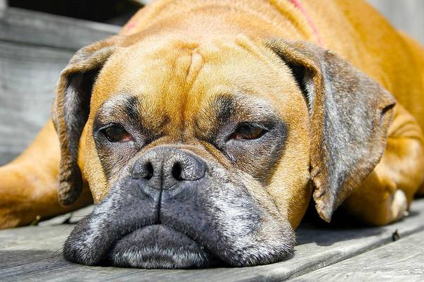 Boxer Art Print featuring the photograph Macy's Lazy Days by Jeff Mize