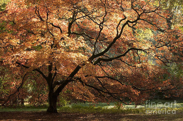 Acer Art Print featuring the photograph Magnificent Autumn by Anne Gilbert