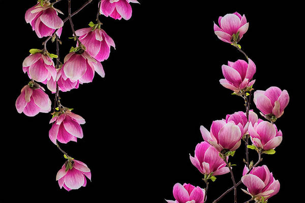 Magnolia Flower Blossom Isolated On Black Background Art Print By Tainar