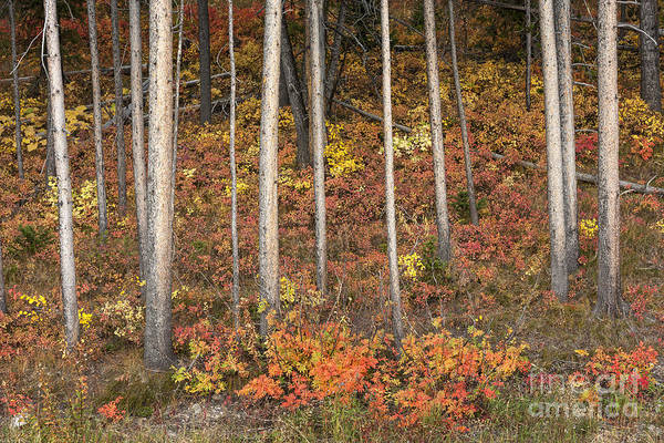 Autumn Print featuring the photograph Majestic Autumn In The Grand Tetons by Sandra Bronstein