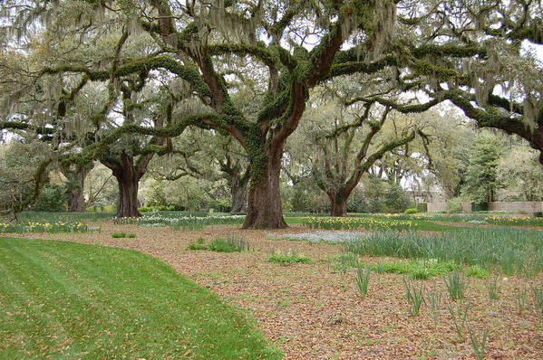 Live Oak Art Print featuring the photograph Majestic Live Oaks In Spring by Suzanne Gaff