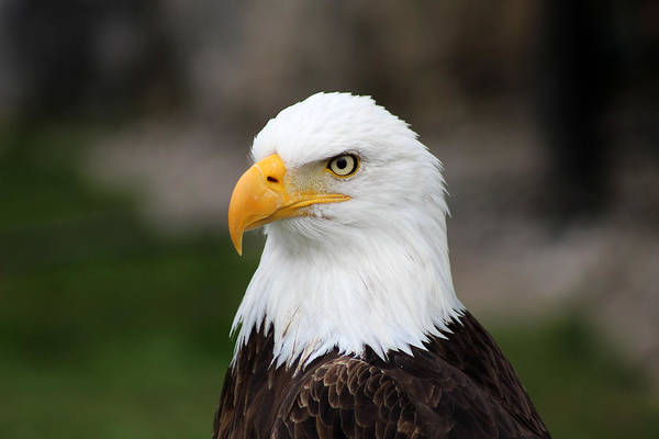 American Bald Eagle Art Print featuring the photograph Male American Bald Eagle by Robert Hamm