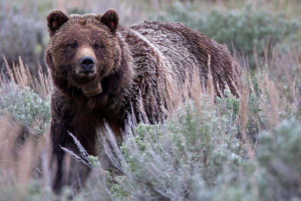 Grizzly Art Print featuring the photograph Mama Grizzly by Natural Focal Point Photography