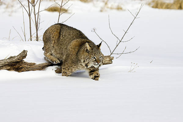 Bobcat Art Print featuring the photograph Meander by Jack Milchanowski