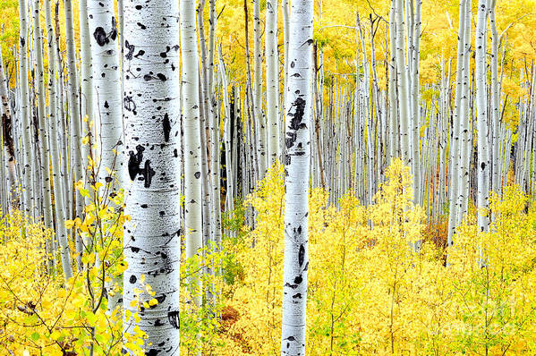 Aspen Trees Art Print featuring the photograph Miles Of Gold by The Forests Edge Photography - Diane Sandoval