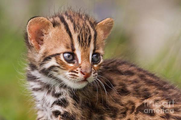 Leopard Art Print featuring the photograph Miniature Leopard by Ashley Vincent
