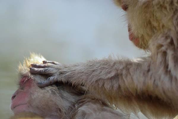 Animal Themes Art Print featuring the photograph Monkey Head Massage by Electravk