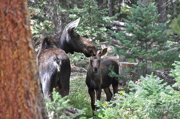 Moose Art Print featuring the photograph Moose And Her Calf by Susan Chesnut